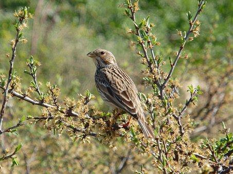 Animal, Bird, Wild, Grey Bunting, Sing