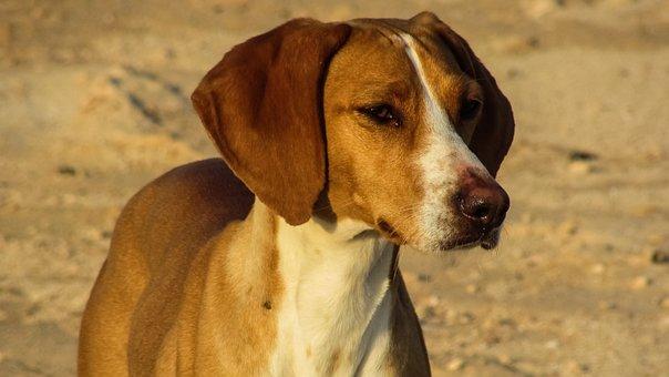 Dog, Vizla, Brown, Hunter