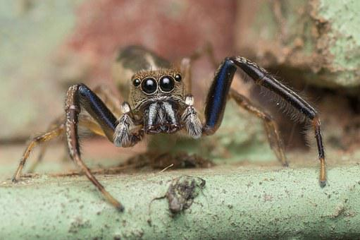 Jumping Spider, Spider, Macro, Insect, Nature, Animal