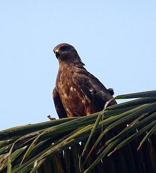 Bird, Kite, Black Kite, Milvus Migrans, Raptor, Hunter