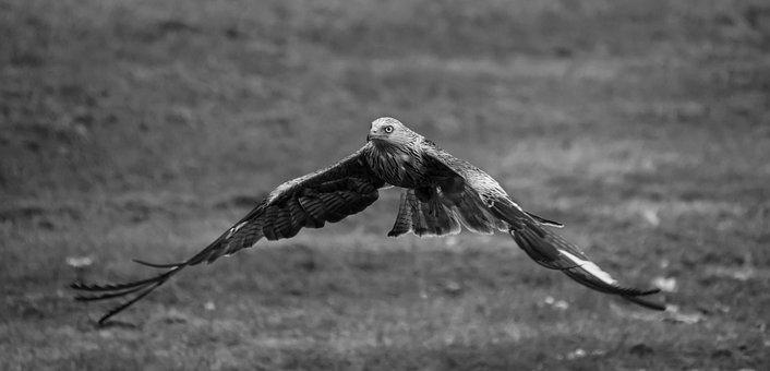 Kite, Red, Bird, Raptor, Prey, Nature, Flight, Feathers
