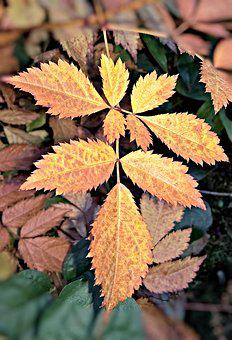 Autumn, Leaf Of Spireastrauches, Brown Coloring