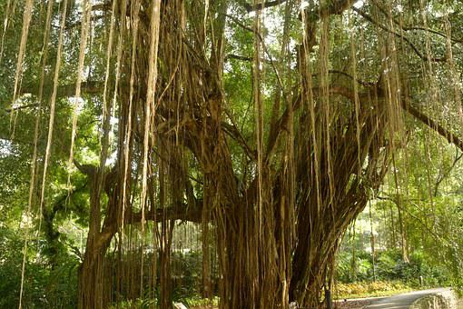 Aerial Roots, Giant Tree, Lianas, Surprising