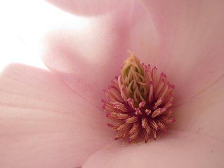 Magnolia, Magnolia Blossom, Macro Photography