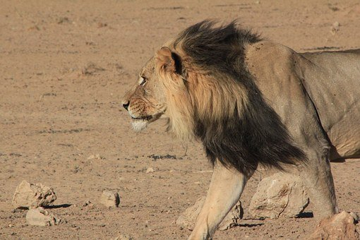 Lion, Mane, Walking, Animal, Feline, Wild, Wildlife