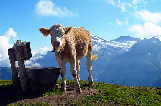 Calf, Bank, Alpine, Switzerland, Hiking, Meadow