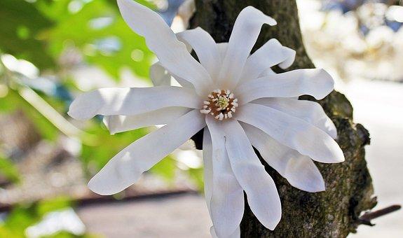 Star Magnolia, Nature, Blossom, Bloom, White Blossom