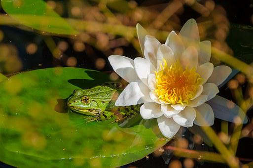 Frog, Water Lily, Pond, Green, Water, Flora, Nature