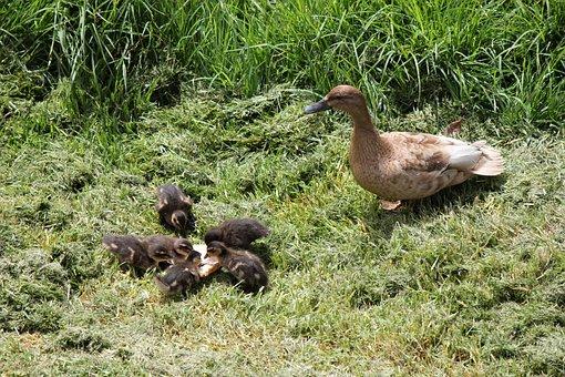 Duck, Ducklings, Duckling, Newborn, Ducky, Mother Duck