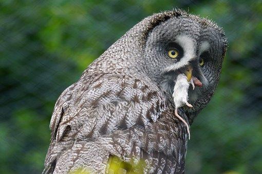 Bart Owl, Owl, Bird, Mouse Hunter, Close