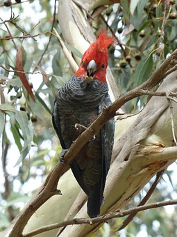 Gang Gang Cockatoo, Cockatoo, Australia, Parrot