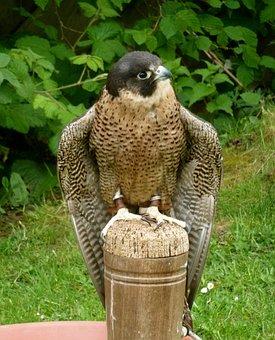 Peregrine, Falcon, Raptor, Bird, Nature, Predator