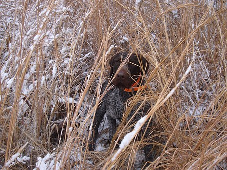 Dog, Hunting, Point, Hunter, Pet, Hunt, Animal, Breed