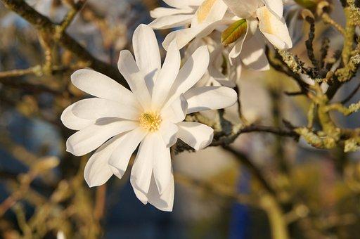 Star Magnolia, Flower, Bush, Blossom, Bloom, Plant