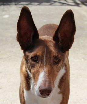 Podenco, Dog, Hunter, Long Eared, Portrait, Dog Breed