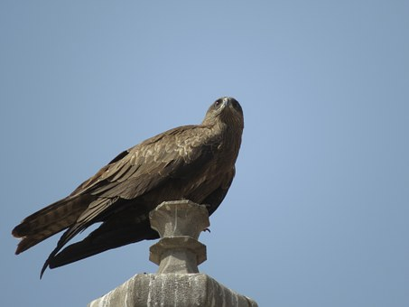 Black Kite, Predator, Wildlife, Beak, Raptor, Wing