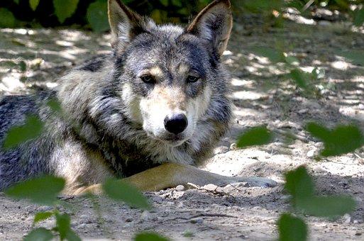 Wolf, Isegrim, Lauer, Predator, Pack, Canine, Concerns