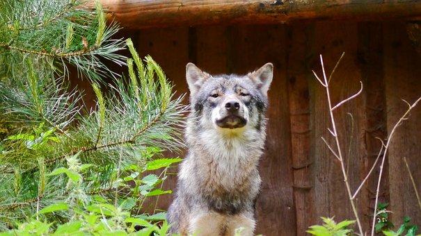Wolf, Predator, Canis Lupus, Hunter, Wild Animal