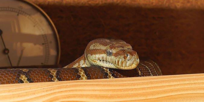 Snake, Terrarium, Close, Python, Tree Python