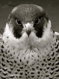 Peregrine, Raptor, Falcon, Bird, Nature, Feather