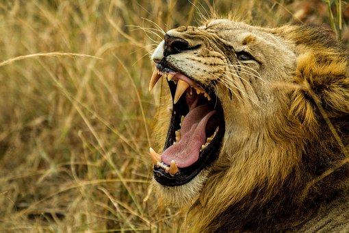 Lion, Roar, Wildlife, Africa, Danger, Fang, Hunter