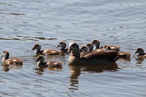 Ducks, Duck Family, Chicks, Water, Small, Cute