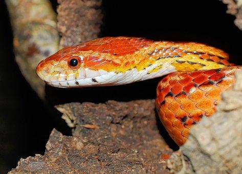 Snake, Natter, Corn Snake, Reptile, Animal, Species