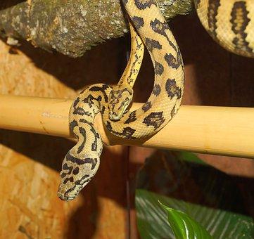 Snakes, Terrarium, Close Up, Pythons, Tree Pythons