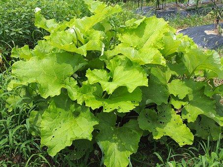 Field, Burdock Root, Garden, Vegetables, Gregor, Spring