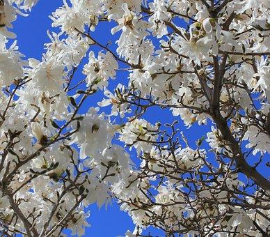 Magnolia, Tree, White, Blue Sky, Springtime, Looking Up