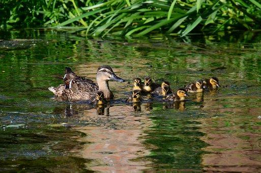Ducks, Chicks, Cute, Young Bird, Waterfowl, Duck Family