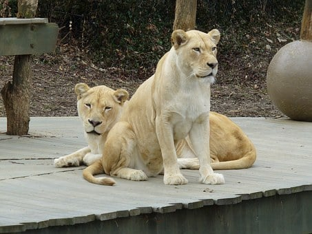 White Lioness, Zoo, Lioness, Animal, White, African