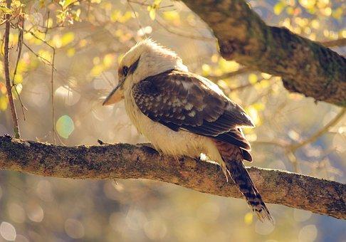 Bird, Kookaburra, Hunter, Kingfisher, Wildlife, Animal