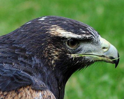 Grey Buzzard Eagle, Bird Of Prey, Prey, Wildlife, Bird