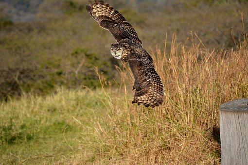 Owl, Bird, Fly, Nature, Wildlife, Predator, Feather