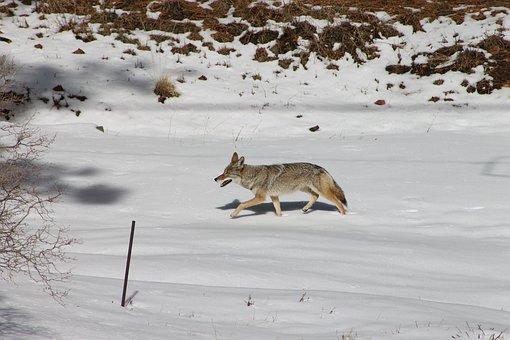 Coyote, Animal, Winter, Wildlife, Nature, Snow