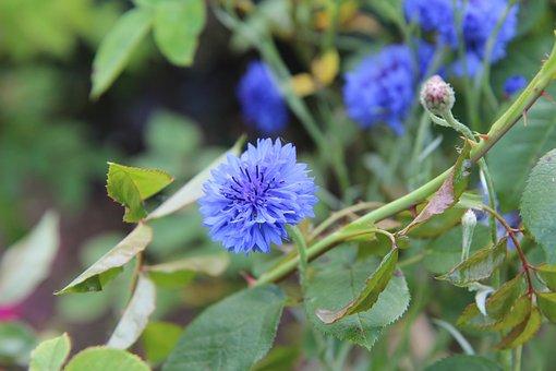 Cornflower, Flower, Plant, Blue Flowers, Petals, Buds
