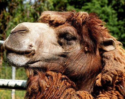 Dromedary, Arabian Camel, Animal, Head, Mammal, Closeup