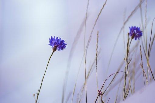 Cornflower, Flowers, Plant, Purple Flowers, Petals