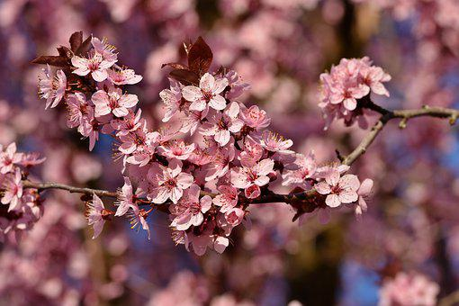 Cherry Blossoms, Flowers, Spring, Pink Flowers, Bloom