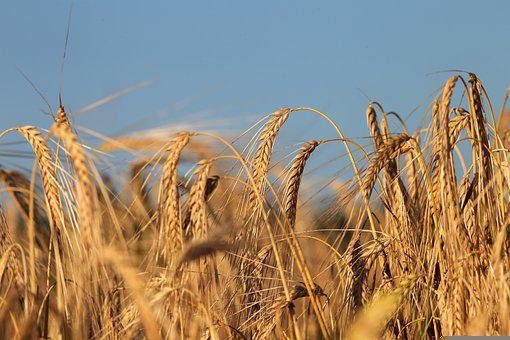 Cereals, Barley, Field, Crops, Plants, Farm