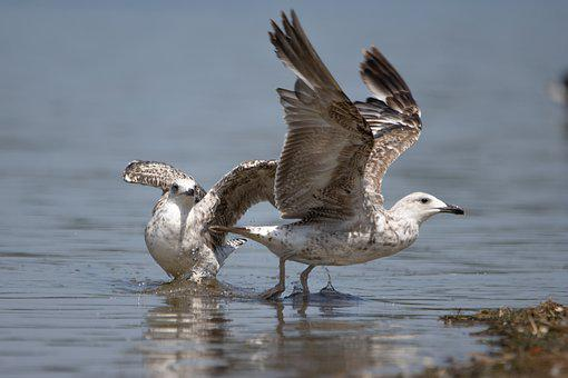 Seagulls, Birds, Lake, Gulls, Animals, Wildlife