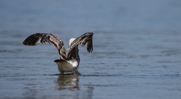 Seagull, Bird, Lake, Gull, Water Bird, Animal, Wildlife
