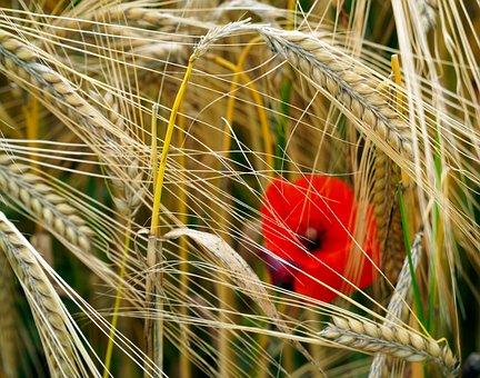 Cereals, Wheat, Field, Crop, Spike, Plants, Poppy