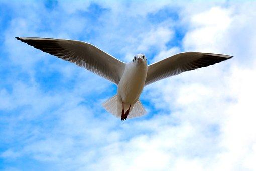 Seagull, Bird, Sky, Gull, Seabird, Animal, Wildlife