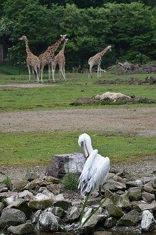 Pelican, Bird, Giraffes, Animals, Game Reserve, Africa