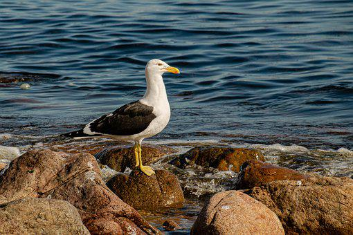 Seagull, Bird, Animal, Seabird, Sea, Rocks, Plumage