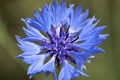 Cornflower, Blue Blossom, Petals, Blue Flower, Blossom