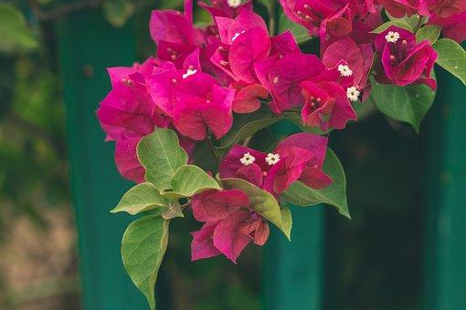 Bougainvillea, Flowers, Plant, Tree, Nature, Green