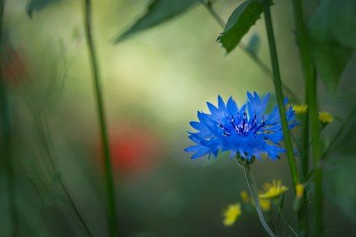 Cornflower, Flower, Blue Flower, Blossom, Bloom, Petals